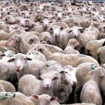packed-sheep