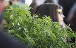 "Marijuana enthusiasts walk by a 5 foot plant at the ""Weed the People"" event to celebrate the legalization of the recreational use of marijuana in Portland, Oregon"